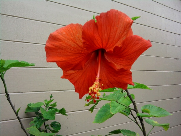 hibiscus-orange