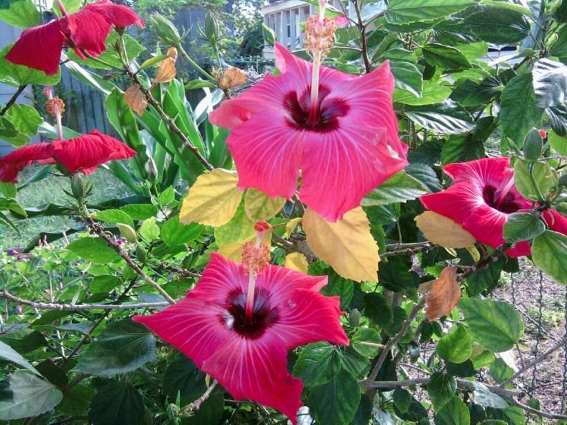 hibiscus-pink