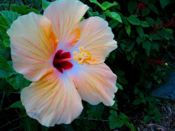 hibiscus-yellow (2)