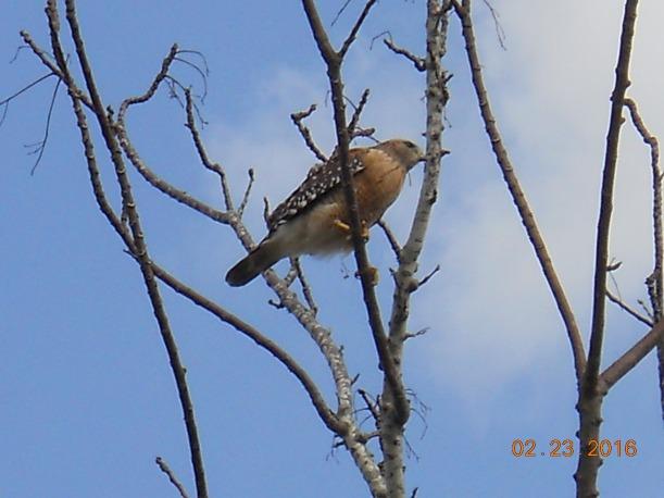 red shoulder hawk 2