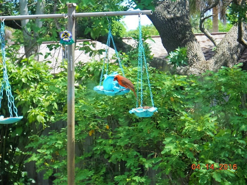 redbird at feeder-4-16