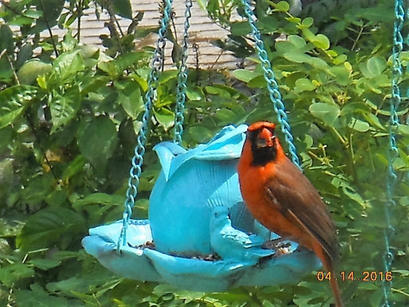 redbird at feeder-close-4-16